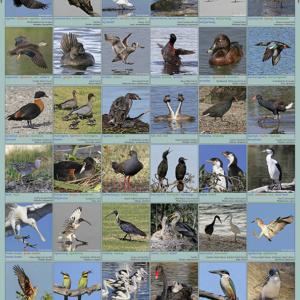 A1 Water Birds Poster